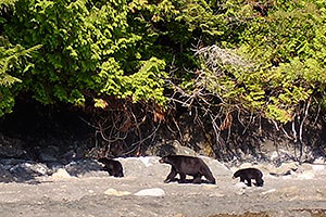 Bears, View Wildlife on a Kayak Tour or Wildlife Watching Adventure