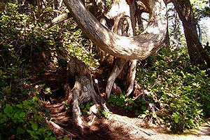 Old growth forests, Wild Pacific Trail, Ocean Mist Guesthouse, Ucluelet, BC